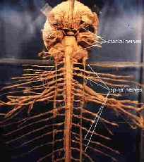 an experiment on the central nervous system cns of an adult bullfrog through the process of dissecti The nervous system the nervous system: peripheral nervous system nerves extend through body and connect with cns-31 pairs of process.